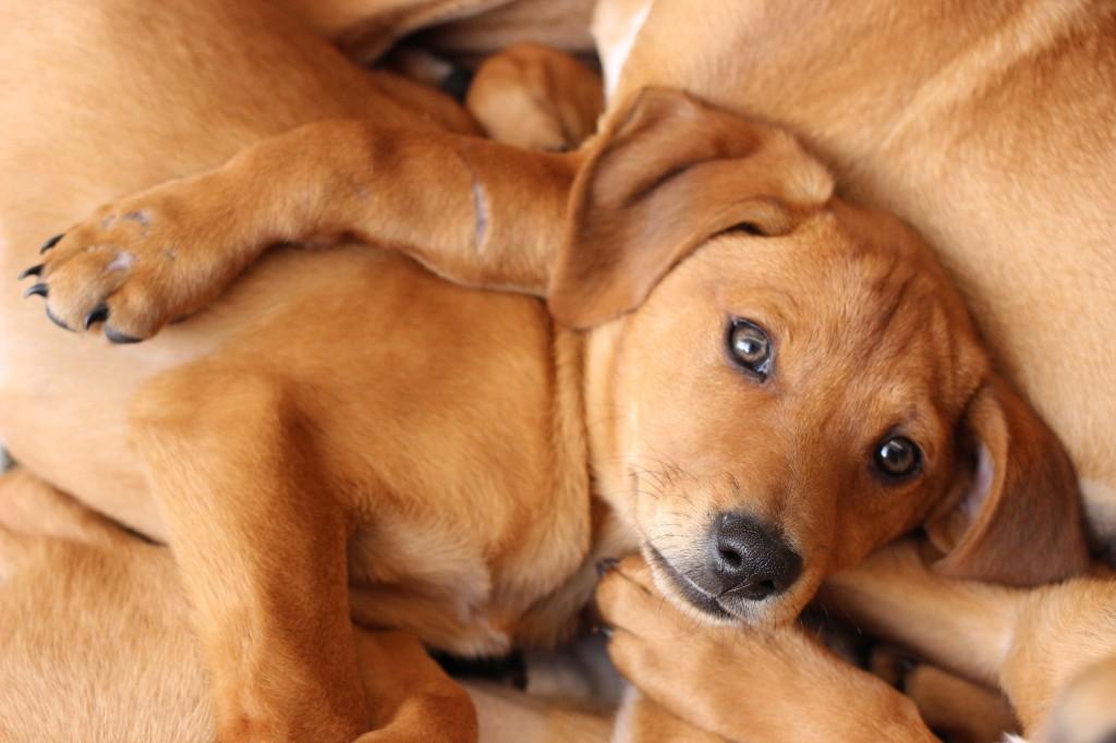 Hound pups (1)